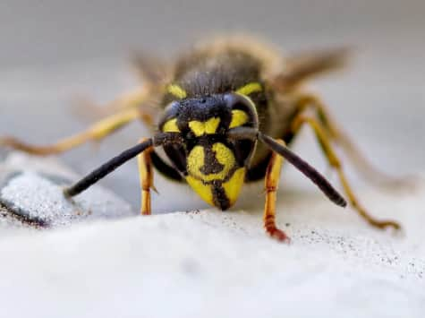 Wasps nest pest control in Harrogate and York by Shield Pest Solutions.